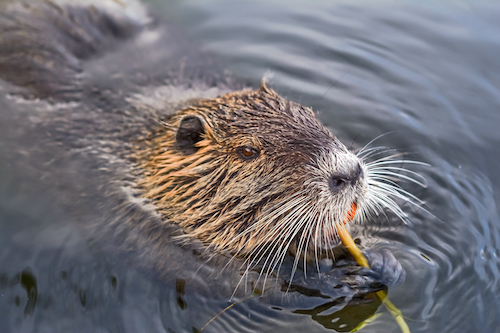 does vanilla extract come from beavers?